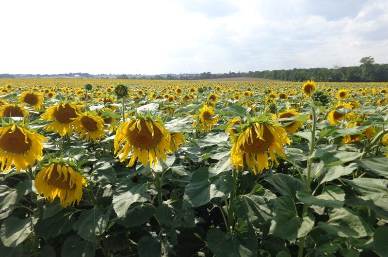 Sonnenblumen bei Stockerau