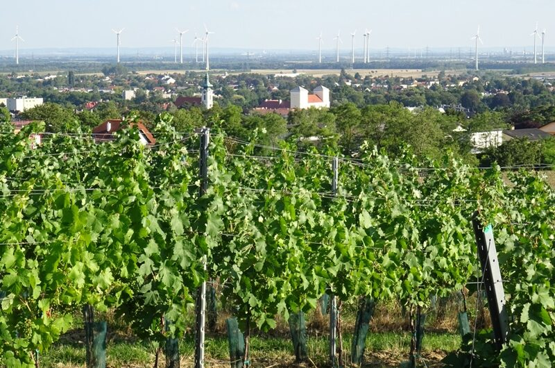 Wolkersdorfer Zentrum hinter Weinreben